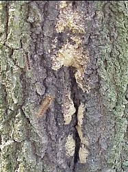 Photo of Gypsy Moth Egg Masses