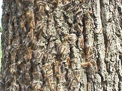 Photo of Gypsy Moth Caterpillars