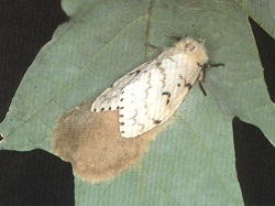 Photo of Gypsy Moth Laying Eggs